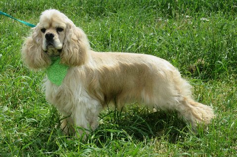 """Kingsley"" AKC Champion bloodlines, silver buff male Cocker Spaniel. He is an extremely sweet natured and has a fun personality. Extremely healthy!"