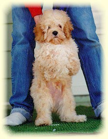 A 5 month old buff Cockapoo.