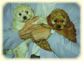 8 week old Cockapoo pups cream & red color.