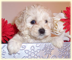 8 week old Cockapoo cream to light buff in color.