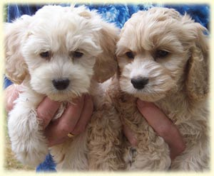Typical 7 week old buff Cockapoo puppies.