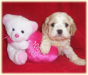 Pictured above is a typical 4 week old buff and white spotted Cockapoo puppy.