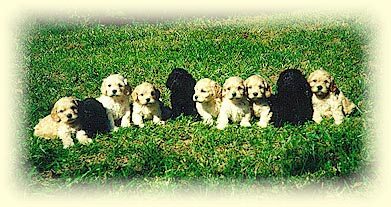 TA litter of ten 5 week old Cockapoo puppies.