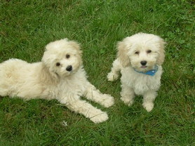 Two 3 month old cream Cockapoo puppies