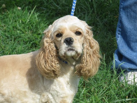 """""""Gigi"""" is an AKC buff Cocker Spaniel who is very sweet and playful. She weighs 22 lbs."""