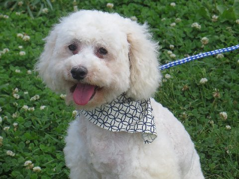 """""""Cowboy"""" is an AKC registered, 9 year old male. We have owned 4 generation of Poodles behind this guy. He has been extremely healthy and has a great personality. He is a solid miniature Poodle who weighs 15 lbs."""