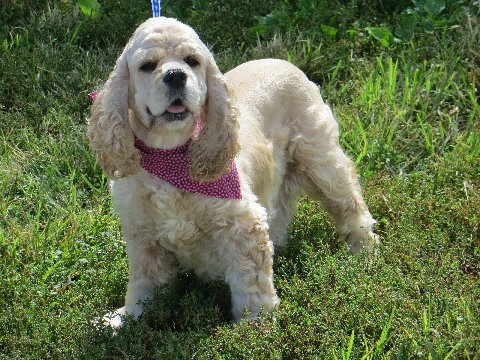 """""""Sam"""" is an AKC buff Cocker who weighs 26 lbs. She is 100% lap dog!"""