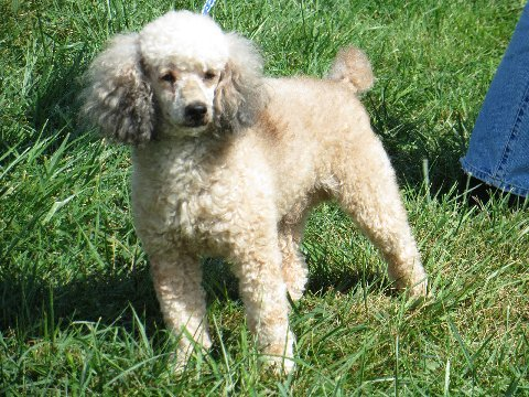 """Tiger"" is a 6 year old AKC registered Sable male Poodle. He too is very solid in build and weighs 18 lbs. He has a great playful nature and is very healthy."