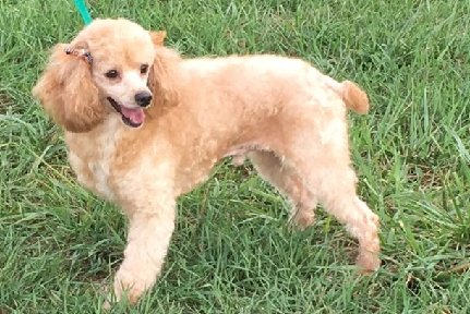 """RUDY"" is an AKC Small Mini Reddish buff male Poodle. He is a son of Cowboy and Annie! He is extremely affectionate and playful. He weighs 13 lbs."