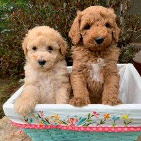 Puppies Available - Puff n Stuff Cockapoos