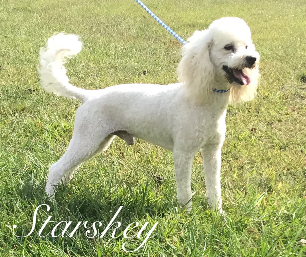 """Starsky"" is an AKC large Miniature Poodle, son of Cowboy. He is very outgoing and loves everyone. He weighs 21 lbs."