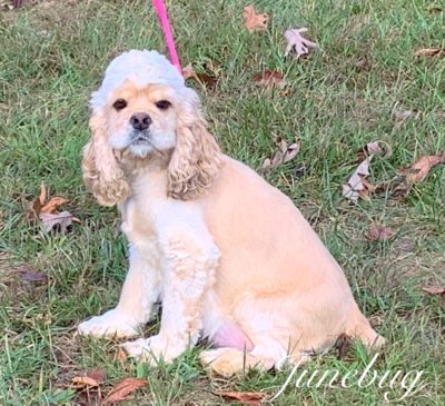 """June Bug"" is an adorable AKC reg. buff Cocker Spaniel.  She is super sweet and very small weighing in at 16 lb."